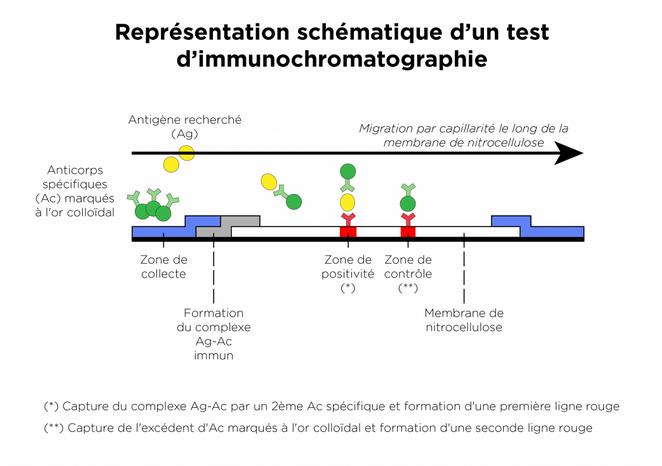 Test Halal: Schéma de l'immunochromatographie