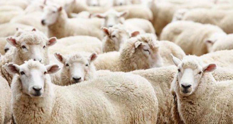 Sacrifice du mouton en Belgique.
