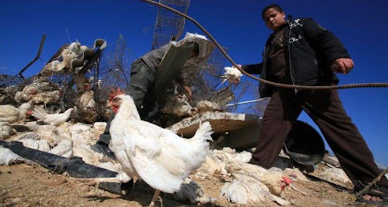 Le poulet gazaoui impropre à la consommation