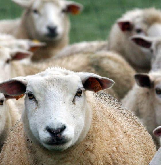 , Il y aura bien des moutons pour l'Aïd al-Adhâ 2019
